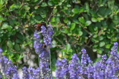 IMG_4895 (ElsSchepers) Tags: limburglavendel lavendelhoeve stokrooie kuringen hasselt natuur vlinders