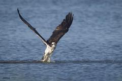 ...Osprey in the Water... (turtlehawk) Tags: 072416 bethany bluecoast cardinal greenheron osprey wildlife woodpecker
