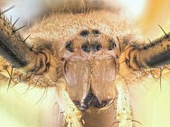 Selfie (Pitrus...) Tags: olympus omd em5 sk 35 schneiderkreuznach pajak araigne spider tygrzyk paskowany argiope bruennichi macro makro pitrus focusstacking