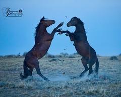 Sparring_Stallions (jmthompsonphoto) Tags: mcculloughpeaks wildhorses hma blm bureau land management wyoming mustang free range horse area