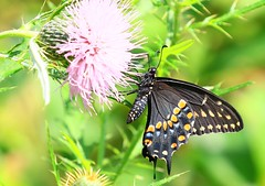 black swallowtail female nectaring on bull thistle along Prairie Farmer Trail IA 854A7890 (lreis_naturalist) Tags: black swallowtail buttefly female nectaring bull thistle prairie farmer trail winneshiek county iowa larry reis
