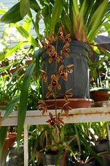 Cymbidium Cricket 'Pala Pala' primary hybrid orchid (nolehace) Tags: nolehace fz1000 616 flower bloom plant cymbidium cricket palapala primary hybrid orchid summer sanfrancisco