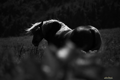 Tania (Julien Denard) Tags: cheval horse blancetnoir blackandwhite