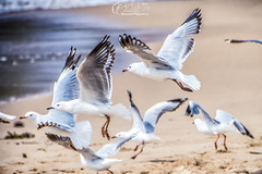 Sea mew (Michael JIN97) Tags: seemew sea ocean beach sand sun landscape animals birds australia sydney nsw newsouthwales