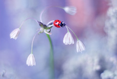 Allium (ElenAndreeva) Tags: flowers red forest spring color macro flower blue sun light summer bokeh cute lovely colors insect canon garden purple soft dream colorful sweet focus bug amazing ledybug nature allium
