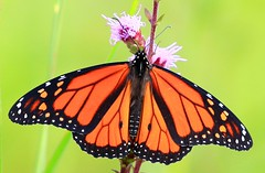 monarch male nectaring on meadow blazing star at Chipera Prairie IA 854A6897 (lreis_naturalist) Tags: monarch male butterfly nectaring meadow blazing star liatris ligulistylis chipera prairie winneshiek county iowa larry reis