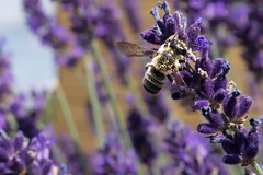 Lavender Bee (eve.zedd) Tags: lavender bee makro daylight sunlight day summer purple nature wings insect herb flower animal pollen honey