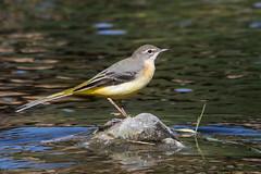 Gebirgsstelze (gosammy1971) Tags: singvogel bird sperlingsvgel stelzen pieper motacilla passeri cinerea gelb weiss schwarz wasser stein