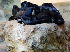 Sleepy Time (annmariej1) Tags: john ball zoo grand rapids johnballzoo animal monkey