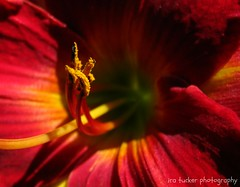 Life always begins.... (itucker, thanks for 2.3+ million views!) Tags: lily daylily red hss macro bokeh