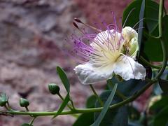 capperi, che fiore ! (fotomie2009 OFF) Tags: cappero capparis spinosa caper flindersrose tapano capparo rosadeldeserto flower fiore flora