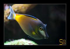ALAIN1japonicus6550 (kactusficus) Tags: marine reef aquarium alain captive ecosystem rcifal acanthuridae chirurgien surgeonfish tang acanthurus japonicus