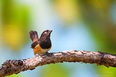 Enjoy The Day... (ac4photos.) Tags: towhee easterntowhee nature wildlife animal bird florida naturephotography wildlifephotography birdphotography animalphotography nikon d300s tamron ac4photos ac