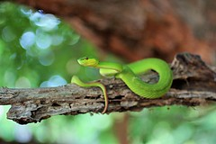 White-lipped Pit Viper (Trimeresurus insularis) (Dan Bromley Photography) Tags: viper snake rincaisland island reptile herp animalplanet