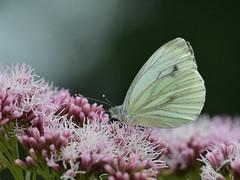 Klein geaderd witje (diederickmeinen) Tags: vlinders