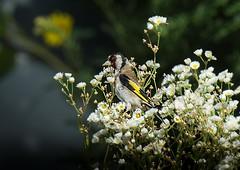 . . . between white flowers (hardy-gjK) Tags: bird nature wildlife nikon white flower animal