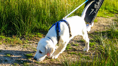 Charlie 15 weeks (Mark Rainbird) Tags: canon charlie dog powershots100 puppy retriever uk ufton uftonnervet england unitedkingdom