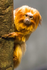 Golden Lion Tamarin (Sunset~Beauty) Tags: canon eos 6d ef 70300mm f456l is usm ontario canada toronto zoo animal orange fur cans2s