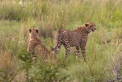 IMG_0698 (Kev Gregory (General)) Tags: pilanesberg national park cheetah south africa ballon flight air safari sun city holiday kev gregory wildlife nature sigma 50500 50 500 bigma canon 7d