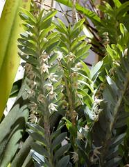Dichae glauca species orchid 7-16 (nolehace) Tags: dichae glauca species orchid 716 fragrant summer nolehace sanfrancisco fz1000 flower bloom plant