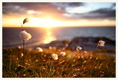 (Frank S. Schwabe) Tags: distagont228 ze zeiss kristiansund karihola myrull sunset bokeh midnightsun myrfivel eriophorum windy