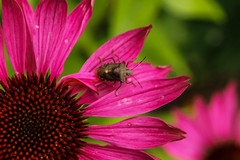 Shield Bug on Echancea (foggybummer (Keith)) Tags: shieldbug coneflower echinacea flower garden pink redlegged