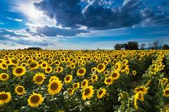 Sunflowers (Marco Brunetti) Tags: pentaxk30 pentax1224 formatthitech laketrasimeno umbria sunflower sun clouds
