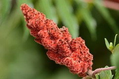 Rhus typhina () Tags: rhus typhina rosso red frutto fruit pannocchia autunno autumn sommaco americano staghorn sumac