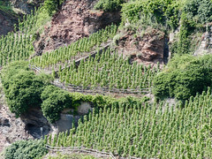 "Vignoble ""perch"" (CORMA) Tags: allemagne deutschland germany moselle mosel 2016 europe europa vineyard vignoble weinberg"