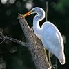 Backlit (Wes Iversen) Tags: greategrets michigan saginaw shiawasseenationalwildliferefuge tamron150600mm bird birds egrets wildlife sunrays5