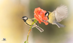 rose attached (Geert Weggen) Tags: nature animal perennial closeup cute plant funny happy summer ground bright light branch yellow bird tit titmouse flower red rose stem wing fly sweden geert weggen jmtland ragunda