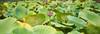 Lotus pod (romain_castellani) Tags: nikon d750 nikkor50mmf18 c1 plante plant lotus étang pond mougins fontmerle nature végétation green vert eau water pod seed trypophobia feuille leaf automne autumn 50mmf18af