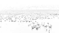 Sanctuary of wild birds. (K16mix) Tags: japan izunuma miyagi kurihara swan lake nature wildlife wildbird wildgoose water morning fly eaafp ramsarconvention sanctuary paradise                 blackandwhite blackwhite monochrome