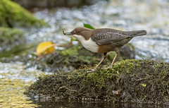 DSC1365  Dipper.. (jefflack Wildlife&Nature) Tags: dipper dippers birds avian wildlife wildbirds waterbirds riverbirds waterways countryside nature