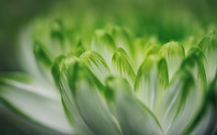 Every flower is a soul blossoming in nature (Midori (K)) Tags: nature beautifulflower green flowers