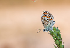 Bluling mit Tropfen 11.jpg (oliver r.) Tags: canon tamron macro makro nature natur insect insekt wildlife outdoor bluling schmetterling butterfly falter water wasser tropfen drops waterdrops wassertropfen tau morgentau