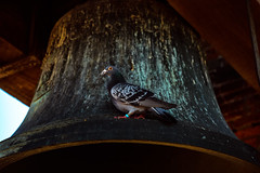 (lxpro) Tags: architecture events italy lucca nature places season time toscana animal bird pigeon summer vacation          it