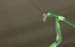 I'm Bushed (Jen_Vee) Tags: insects mantis green holly autumn