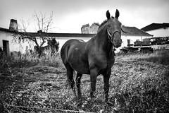 Black Horse (josebrito21) Tags: animals horse blackhorse blackwhite portugal alentejo pretoebranco cavalo cavalopreto