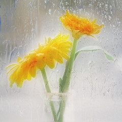 tears in my sunshine (Hal Halli) Tags: rain stilllife gerbera yellow melancholy wallart decor love window exoticimage magicunicornverybest
