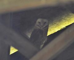 Barn Owl (glenbodie) Tags: glen bodie glenbodie dncb serpentine 201331 barn owl