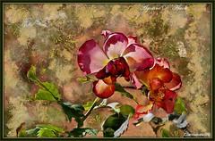 Rosa... a Settembre - 2016 (agostinodascoli) Tags: rosa nature texture agostinodascoli fiori photoshop photopainting art digitalart digitalpainting digitalgraph macro nikon nikkor cianciana sicilia piante fullcolor colore