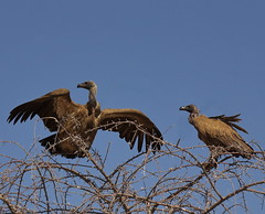 Two White-back Vultures At Top of High Tree, Etosha NP, Namibia, Africa   K__37758 (Mike07922, 3 Million+ Views - thanks guys) Tags: etosha namibia africapentaxk3