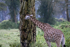 I see no giraffe out there (jhderojas) Tags: giraffe kenia lake nakuru