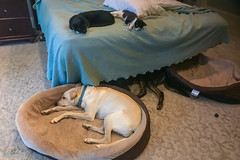 Lazy Rainy Sunday (cmiked) Tags: waco texas unitedstates us dog cat sadie rosie jem littlebit casadavis 366269 proj366