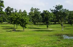Green field of trees (A. Wee) Tags: jakarta  indonesia  cgk soekarnohatta airport  tree field