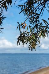 (klgfinn) Tags: autumn balga bay buckthorn cloud landscape leaf seabuckthorn shore sky skyline tree water