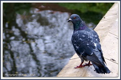 Are you looking at me !!!! (Photography By Mary Dixon) Tags: park water stone wall reflections pond october minolta framed pigeon mary konica 2012 sunderland mowbray