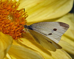 Small White on a Dahlia (Foto Martien (thanks for over 2.000.000 views)) Tags: newzealand white holland macro netherlands dutch yellow japan butterfly asia europe northafrica cream nederland australia papillon northamerica falter mariposa veluwe farfalla schmetterling vlinder macrophoto butterflyhouse kleinkoolwitje pierisrapae koolwitje butterflygarden smallwhite harskamp cabbagebutterfly macrofoto vlindertuin macroopname smallcabbagewhite piridedelarave vlinderkas cavolaiaminore rapaiola kleinerkohlweisling bielinekrzepnik knollenwitje passiflorahoeve bestcapturesaoi whitishgreen mygearandme mygearandmepremium minoltamacro100mm28mm mygearandmebronze mygearandmesilver mygearandmegold mygearandmeplatinum blancapequea photographyforrecreationeliteclub photographyforrecreationclassic