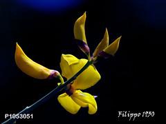 GINESTRA AETNENSIS - P1053051 (Felipe 1930) Tags: flowershop extracolor yourpreferredgroup mmmilikeit bestimagesever ~flickrland~ photographicworld yello4u fotogrfosapasionado